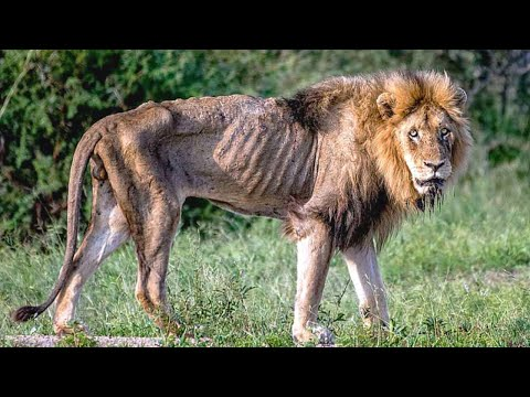 This is why it sucks to be a male lion