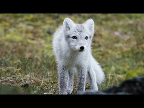 Amazing facts about the arctic fox   animals are beautiful