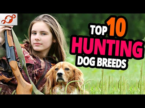 🐕 hunting dogs – top 10 best hunting dog breeds in the world!
