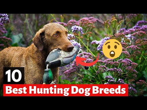 10 best hunting dog breeds in the world