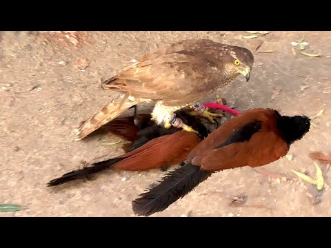 Excellent hunting with goshawk || primitive hunting technology || raptors today