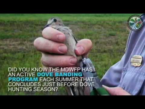 Hunters, look out for banded doves