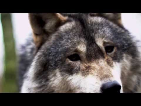 Without wolves: why we would all be impoverished by the extinction of wolves   wildearth guardians