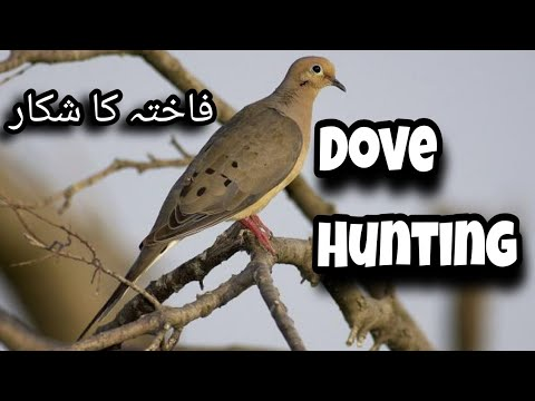 Dove hunting in pakistan | dove hunting with shotcam